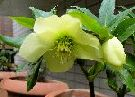 An icon with a photo of Christmas Rose